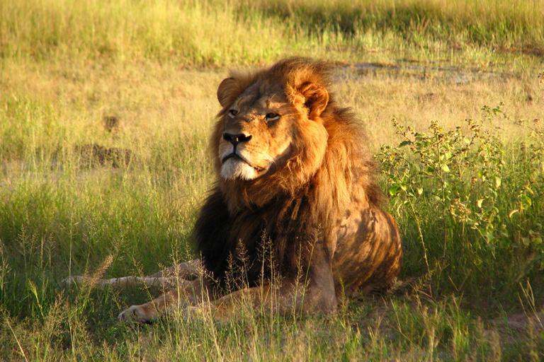 Cecil the Lion lions endangered