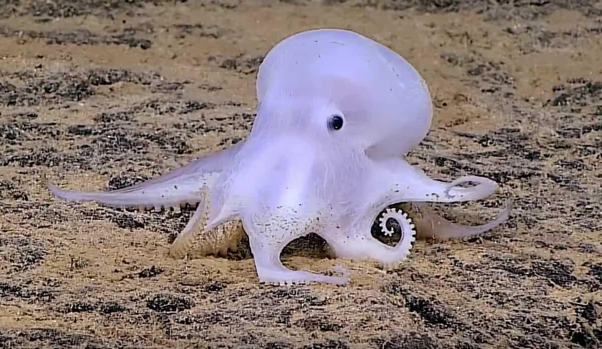 Ghost Octopus