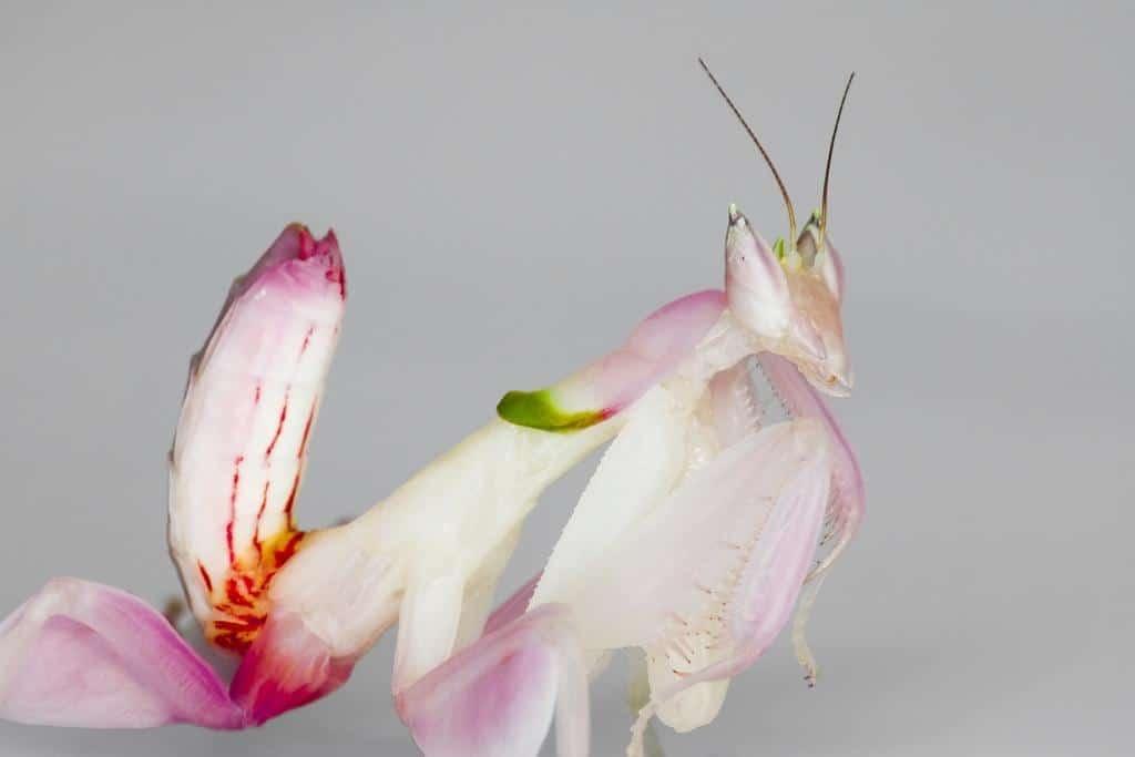 Orchid Mantis