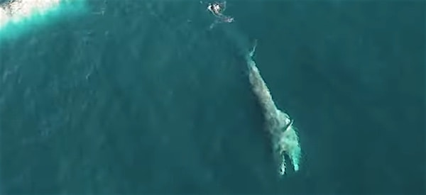 Brydes whales