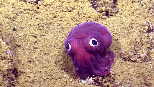 Stubby Squid