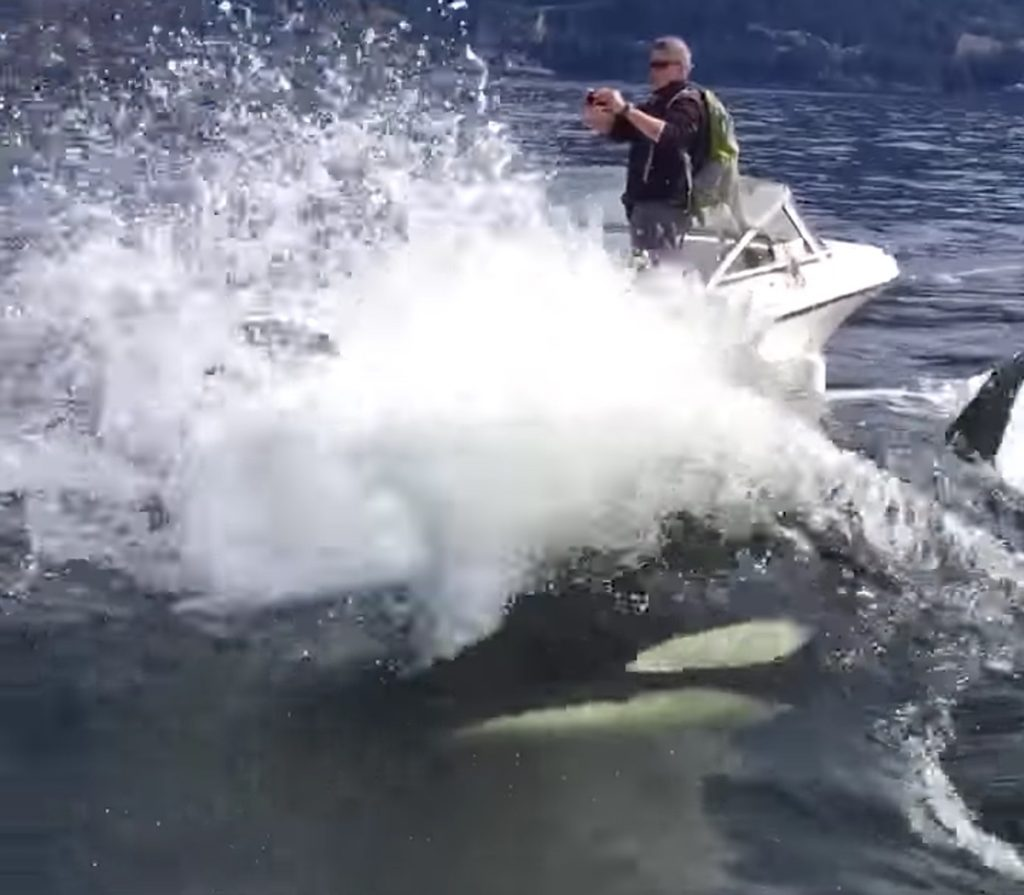 orca sea lion hunt