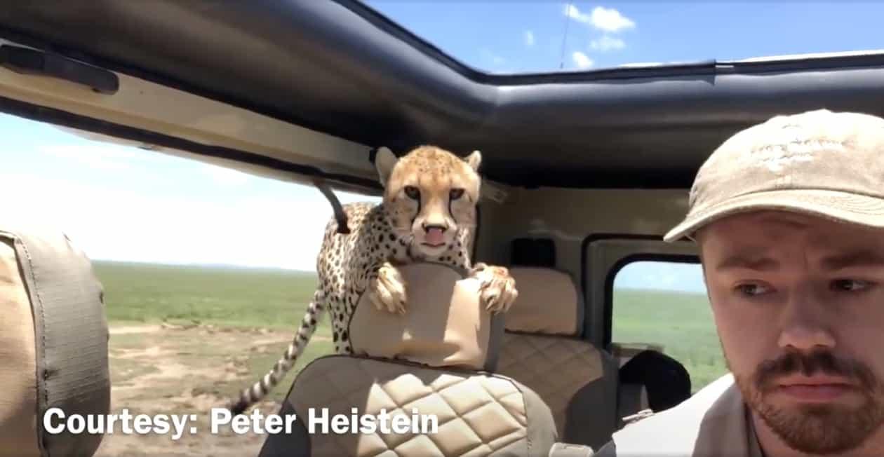 encounter cheetah