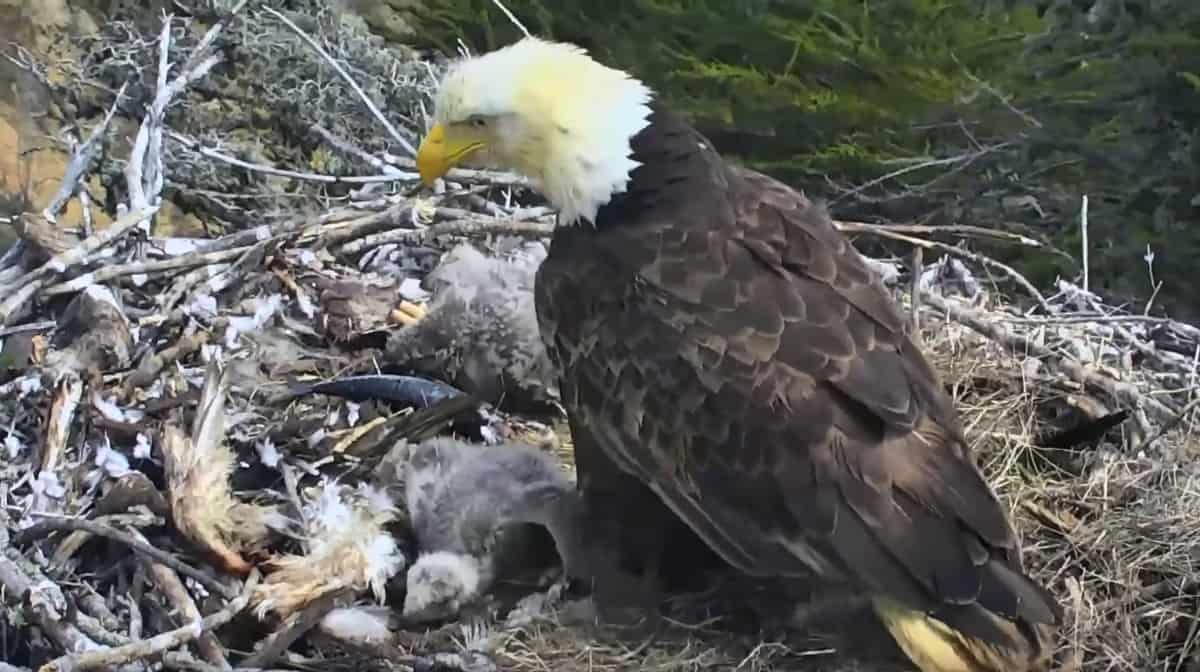 bald eagle earthquake