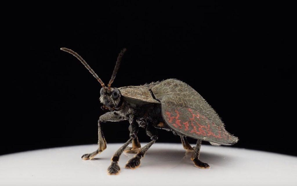 beetle population collapse