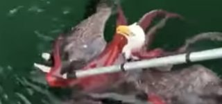 Fishermen Save Bald Eagle Caught in the Grip of a Giant Octopus: WATCH