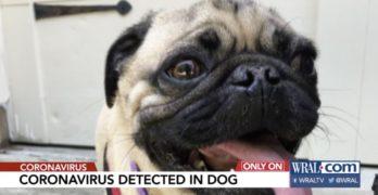 coronavirus pug