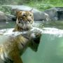Tiger at NYC's Bronx Zoo Tests Positive for Coronavirus, is Thought to Have Caught it From a Person