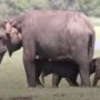 A Pair of Rare Elephant Twins Has Just Been Born: VIDEO