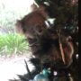 Australian Family Finds Koala Hanging Out on Their Christmas Tree: WATCH