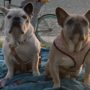 Lady Gaga's French Bulldogs Recovered by Woman Who Appears 'Uninvolved and Unassociated' with Armed Robbery