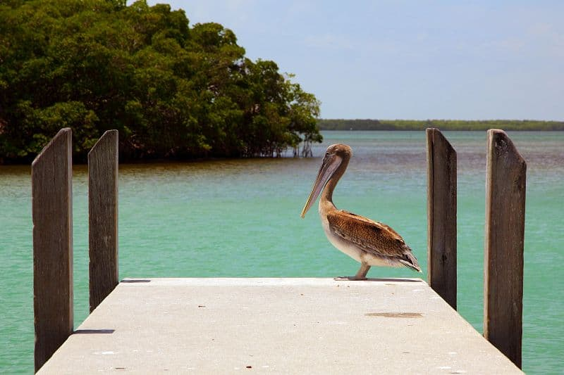 A brown pelican is just one of the many varieties of wildlife you may come across at Crandon Park. Photo courtesy of the GMCVB.