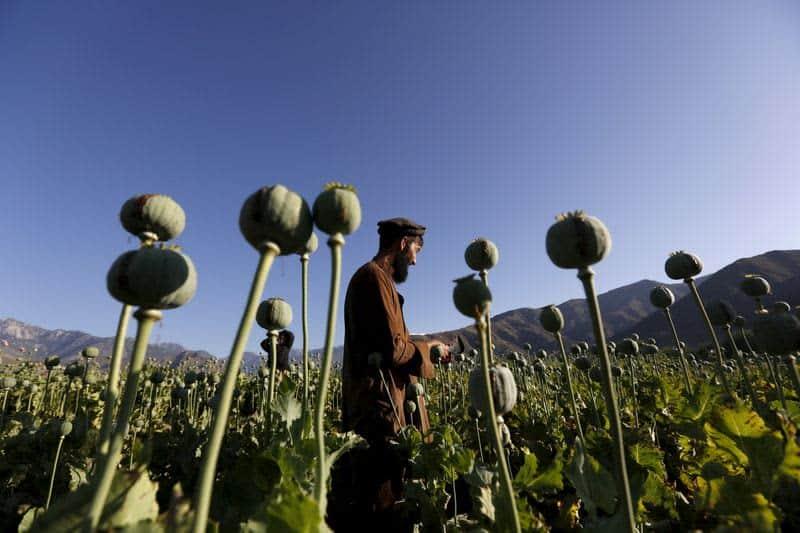 taliban poppy