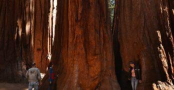 sequoias