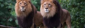 Coughs and Lethargy for Big Cats: Washington Zoo Say Their Tigers, Lions Catch Covid
